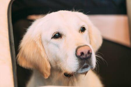 Close Up Young White Labrador Retriever Dog