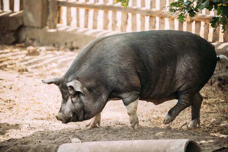Funny Household A Large Black Pig Walking In Farm Yard Barnyard. Pig Farming.