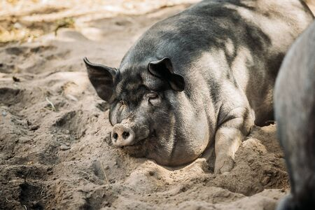 Large Black Pig Sleeping In Sand In Farm Yard. Pig Farming Is Raising And Breeding Of Domestic Pigs. It Is A Branch Of Animal Husbandry. Pigs Are Raised Principally As Food (Pork, Bacon, Gammon).