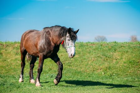 Horse Grazing In Meadow With Green Grass In Summer Day Foto de archivo