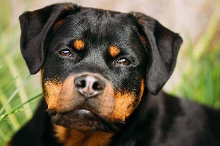 Funny Young Black Rottweiler Metzgerhund Puppy Dog Close Up Portrait. Rott, Rottie Dog.