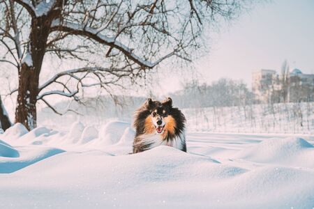 Funny Young Shetland Sheepdog, Sheltie, Collie Fast Running Outdoor In Snowy Park. Playful Pet In Winter Forest.