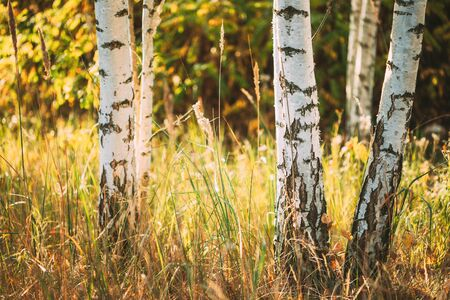 Birch Trunks Woods Close Up. Sunset In Summer Birch Forest, Russia. Russian Nature. Zdjęcie Seryjne