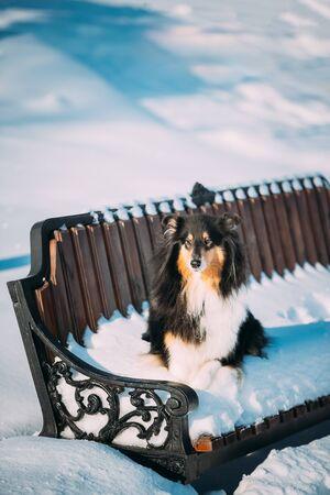 Shetland Sheepdog, Sheltie, Collie Sitting On Bench Outdoor In Snowy Winter Park Archivio Fotografico