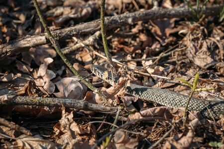 Grass Snake - Natrix Natrix Adder Head Moving In Forest Early Spring.