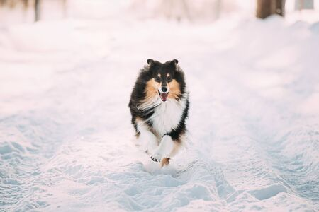 Shetland Sheepdog, Sheltie, Collie Fast Running Outdoor In Snowy Park. Playful Pet In Winter Forest Archivio Fotografico