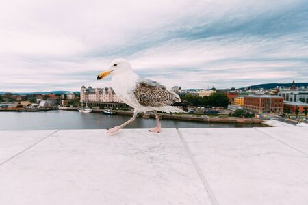 Oslo, Norway. White Hat Beckoning Seagull On Viewing Platform On Background Oslo Cityscape Skyline.