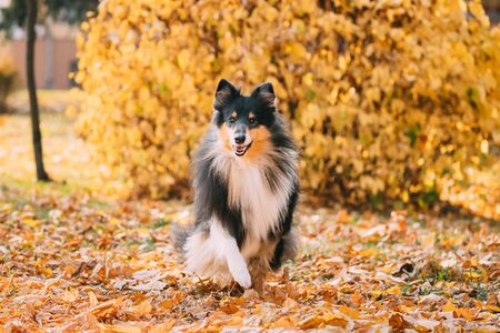 Tricolor Rough Collie, Funny Scottish Collie, Long-haired Collie, English Collie, Lassie Dog Running Outdoors In Autumn Day. Portrait