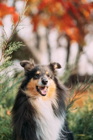 Tricolor Rough Collie, Funny Scottish Collie, Long-haired Collie, English Collie, Lassie Dog Sitting Outdoors In Autumn Day. Close Up Portrait