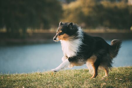 Tricolor Rough Collie, Funny Scottish Collie, Long-haired Collie, English Collie, Lassie Dog Running Outdoors In Autumn Day Archivio Fotografico
