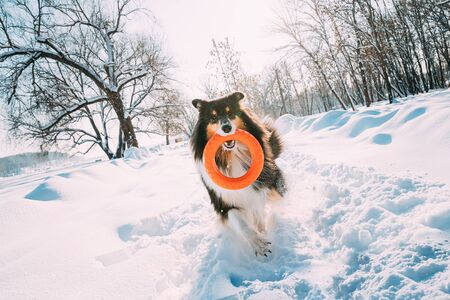 Funny Young Shetland Sheepdog, Sheltie, Collie Playing With Ring Toy Outdoor In Snowy Park, Winter Season. Playful Pet Outdoors Archivio Fotografico