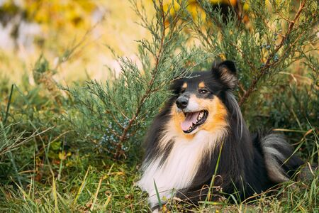 Tricolor Rough Collie, Funny Scottish Collie, Long-haired Collie, English Collie, Lassie Dog Sitting In Green Grass. Archivio Fotografico