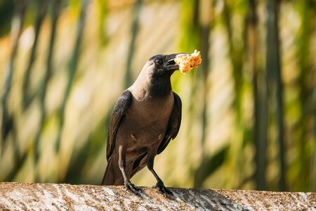 Goa, India. House Crow Sitting On Crossbar With Piece Of Chicken In Beak. Standard-Bild