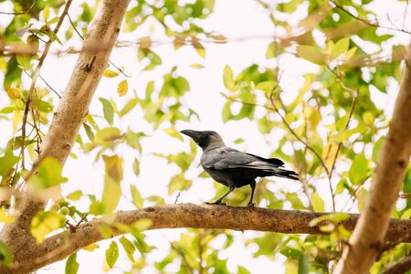 Goa, India. House Crow Sitting On Branch Of Tree.