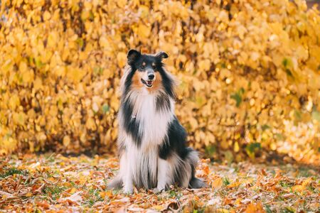 Tricolor Rough Collie, Funny Scottish Collie, Long-haired Collie, English Collie, Lassie Dog Sitting Outdoors In Autumn Day. Portrait Archivio Fotografico