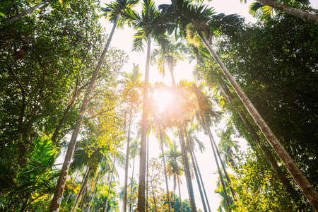 Goa, India. Sunny Canopy Of Palm Trees. Upper Branches Of Woods In Jungle Forest. Low Angle View. Bottom Wide Angle View Of Tall Palm Tree, Sky Background. Zdjęcie Seryjne
