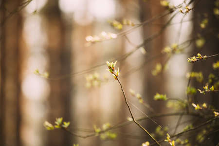 Young Spring Green Leaf Leaves Growing In Branch Of Forest Bush Plant Tree. Young Leaf On Boke Bokeh Natural Blur