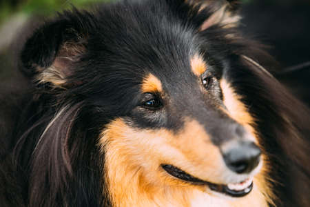 Close Portrait Of Staring Tricolor Rough Collie, Scottish Collie, Long-Haired Collie, English Collie, Lassie Adult Dog