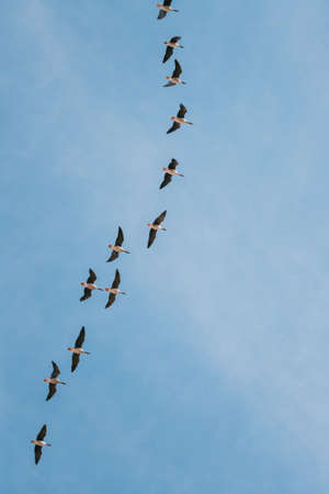 Flock Of Ducks Flying In Sunny Blue Spring Sky During Their Migration In Belarus, Russia Banque d'images