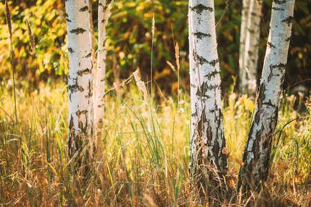 Birch Trunks Woods Close Up. Sunset In Summer Birch Forest, Russia. Russian Nature