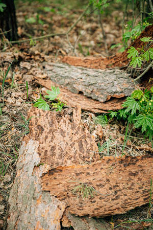 Old Pine Bark Fell Off From Damage To Tree Trunk By Insects - Ants 版權商用圖片
