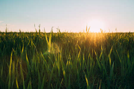 Close Up Young Wheat Shoots In Sunset Sunrise Lights. Countryside Rural Field With Young Wheat Sprouts In Spring Summer Evening. Beauty In Agricultural Field 版權商用圖片