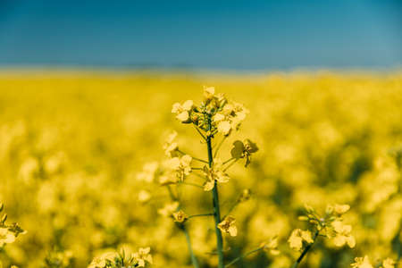 Close Up Of Blossom Of Canola Colza Yellow Flowers Under Blue Sunny Sky. Rapeseed, Oilseed Field Meadow