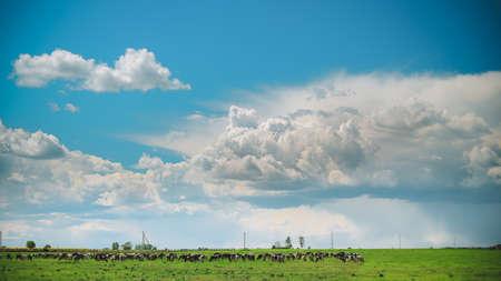 Summer Rural Meadow Landscape Under Scenic Sky. Herd Of Cows Grazing In Green Pasture In Rainy Evening. Cattle Breeding. 版權商用圖片