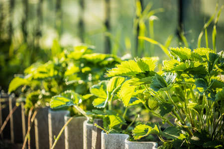 Green Unripe Fragaria Or Wild Strawberries Growing In Vegetable Garden. Organic Strawberry. Green Berry In Fruit Garden
