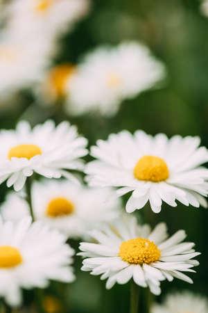 Blooming Wild Flowers Matricaria Chamomilla Or Matricaria Recutita Or Chamomile. Commonly Known As Italian Camomilla, German Chamomile, Hungarian Chamomile, Wild Chamomile In Summer Garden