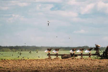 Flock Of Birds Of Seagull Flies Behind Tractor Plowing Field In Spring Season. Beginning Of Agricultural Spring Season