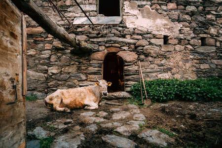 Georgia. Cow Lying In Shed In Georgian Village 版權商用圖片