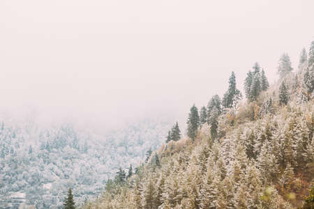 Pines And Spruces, Fir-trees Covered First Snow. Forest Growing On Rocky Slope Of Mountains. Winter Nature Landscape