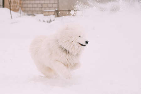 Funny Young White Samoyed Dog Or Bjelkier, Smiley, Sammy Playing Outdoor In Snow, Winter Season. Playful Pet Outdoors