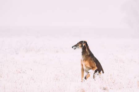 Hunting Sighthound Hortaya Borzaya Dog During Hare-hunting At Winter Day In Snowy Field 版權商用圖片