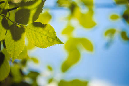 Green Leaves Against The Sky 版權商用圖片