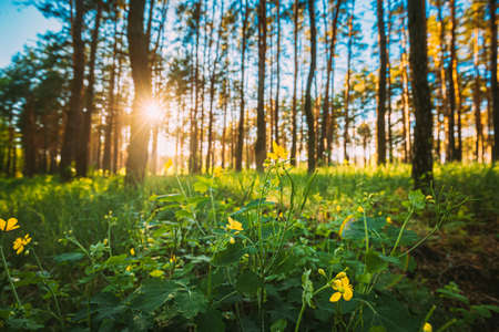 Sunset In Green Spring Forest. Green Plant Ranunculus Acris With Yellow Flowers On Background Tall Trees And Sunset In Forest 版權商用圖片