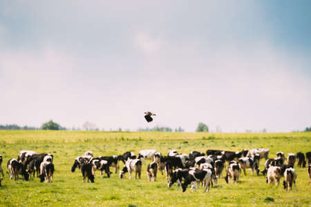 Northern Lapwing Or Peewit Flying Above Grazing Cattle In Field In Summer Day
