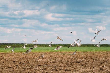 Seagulls Birds Fly Over Plowed Field In Belarus. Birds Flies Over Rural Landscape 版權商用圖片