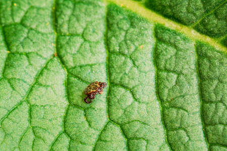Dermacentor Reticulatus On Green Leaf. Also Known As The Ornate Cow Tick, Ornate Dog Tick, Meadow Tick, And Marsh Tick. Family Ixodidae. Ticks Are Carriers Of Dangerous Diseases