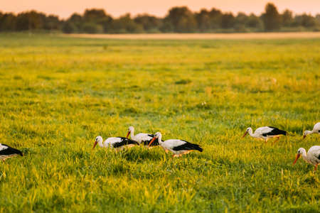 Group Of European White Storks Ciconia Ciconia Feeding In Summer Meadow. Wild Birds In Sunny Evening In Belarus