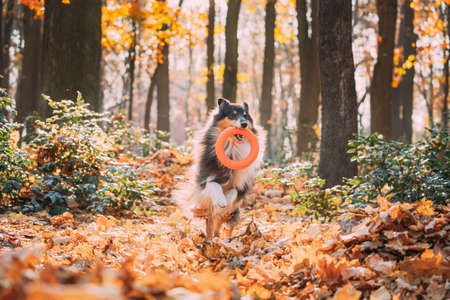 Funny Young Shetland Sheepdog Sheltie English Collie Playing With Ring Toy In Autumn Park. Tricolor Rough Scottish Collie, Lassie Dog Running In Dry Yellow Fallen Foliage Outdoor.