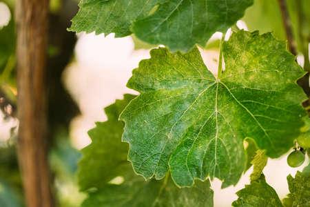 Powdery Mildew On Leaves Of Grape. Plant Disease. Bad Harvest