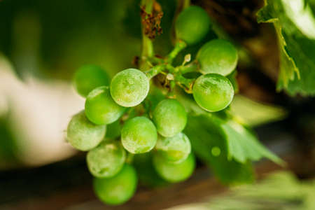 Powdery Mildew On Fruits And Leaves Of Grape. Plant Disease. Bad Harvest
