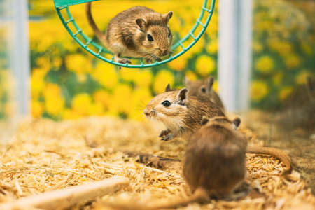 Meriones Unguiculatus, The Mongolian Jird Or Mongolian Gerbil Is A Rodent Belonging To Subfamily Gerbillinae.