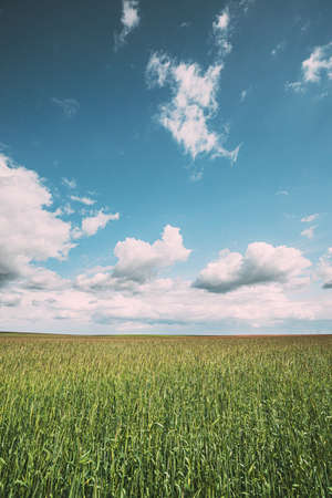 Countryside Rural Field Landscape With Young Wheat Sprouts In Spring Sunny Day. Agricultural Field. Young Wheat Shoots