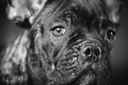 Close Up Portrait Of Young Black French Bulldog Dog Puppy. Funny Dog Baby With Beautiful Black Snout Eyes Bulldog Puppy Dog. Adorable Sad Bulldog Puppy. Black And White Colors Photo