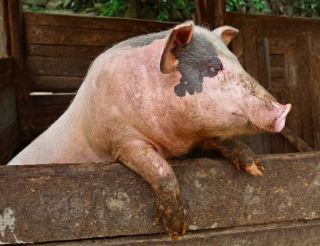 囲いの外に見えるプライベート農民農場の豚、ブタ型枠パドックで休んで後ろ足で立つ彼の後ろ足に立ちペット家畜プライベート農民の農場の肉品