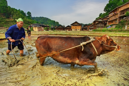 GUIZHOU PROVINCE, CHINA - APRIL 9: Chinese peasant plowing paddy field, using power of buffalo April 9, 2010. Farmer works in rice field near Zhaoxing Dong ethnic minorities village, Liping County.