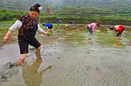 GUIZHOU, CHINA - APRIL 18   Spring sowing, April 18, 2010  Chinese peasant farmer, planting rice seedlings in the ground, beneath the surface of the water in the rice fields